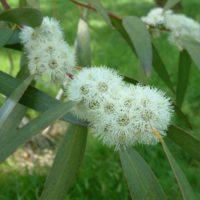 Eucalyptus gregsonaiana