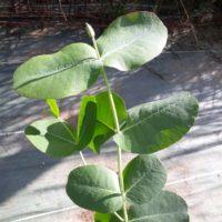 Eucalyptus neglecta