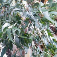 Eucalyptus viminalis - Gommier blanc