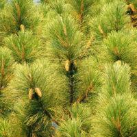 Pinus elliotti
