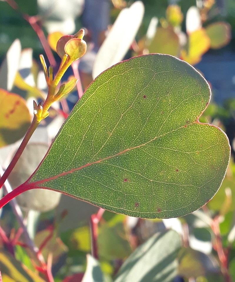 Euclyptus camphora
