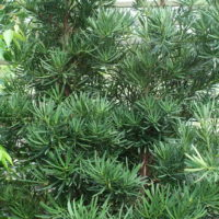 Podocarpus macrophyllus Japenese yew-pine