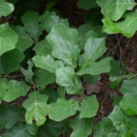 Quercus ilicifolia