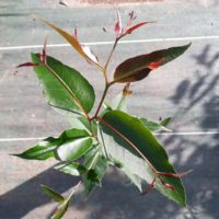 Eucalyptus muelleriana feuilles juvéniles