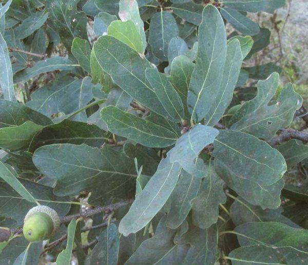 Quercus laceyi