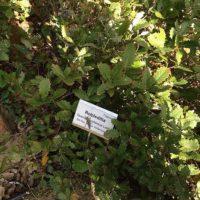 Quercus lusitanica