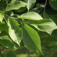 Ulmus castaneifolia